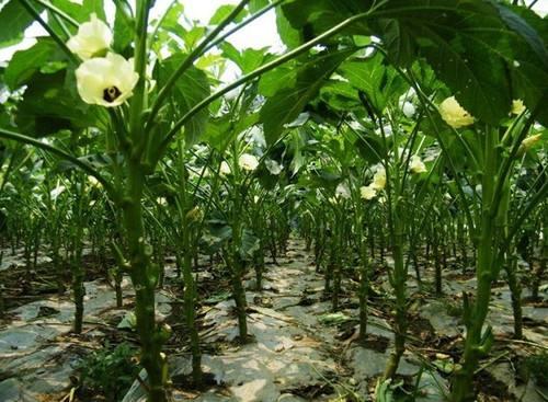 黄秋葵,种植技术