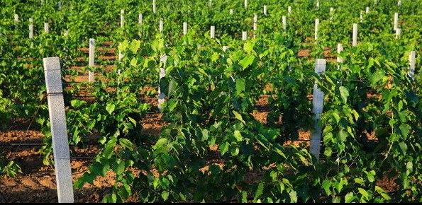 葡萄,葡萄园,滴灌