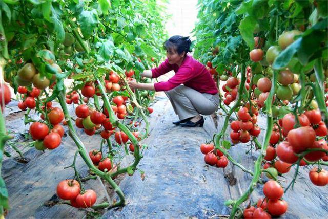 番茄叶霉病,叶霉病症状,叶霉病