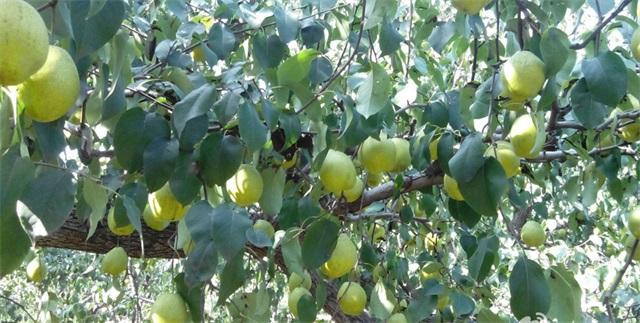 梨树锈病,锈病症状,锈病