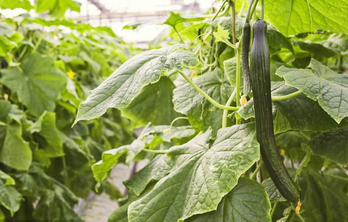 生物肥料,植物免疫诱抗剂,黄瓜,褐斑病,黄瓜褐斑病